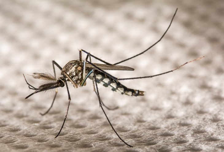Aedes aegypti; Imagen de shutterstock