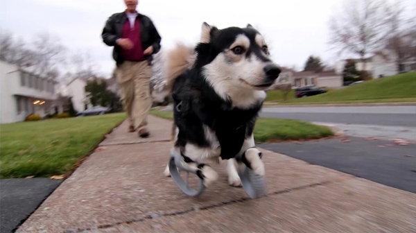 husky perro discapacitado