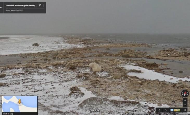 Oso polar esperando hielo