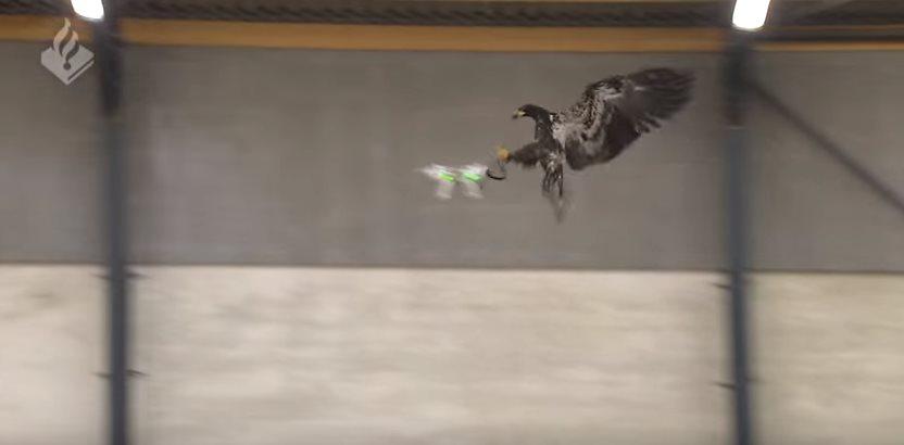 Águilas que capturan drones