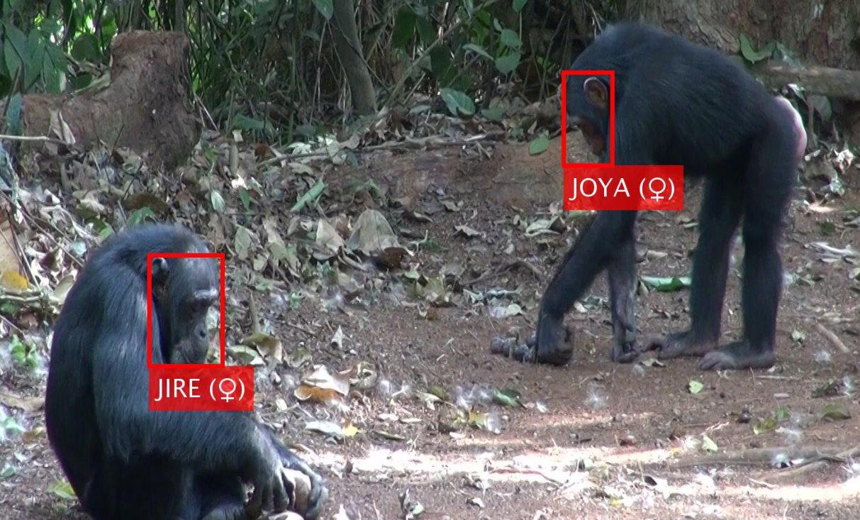 Científicos desarrollan un software para el reconocimiento facial de primates