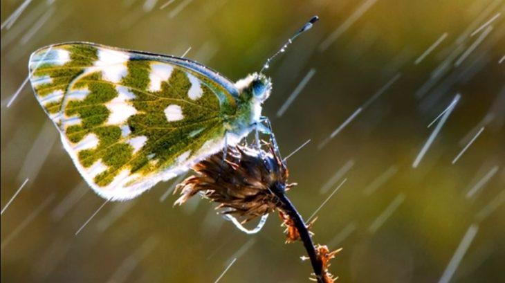 Impacto de gotas de lluvia en alas de mariposas