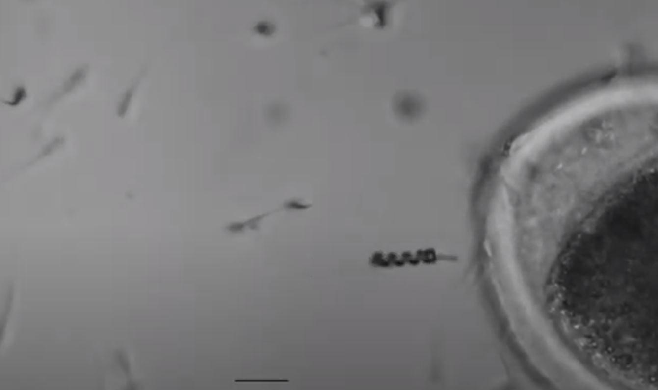 Spermbot, el microrobot que ayuda a los espermatozoides a «encontrar el camino», cuatro años después