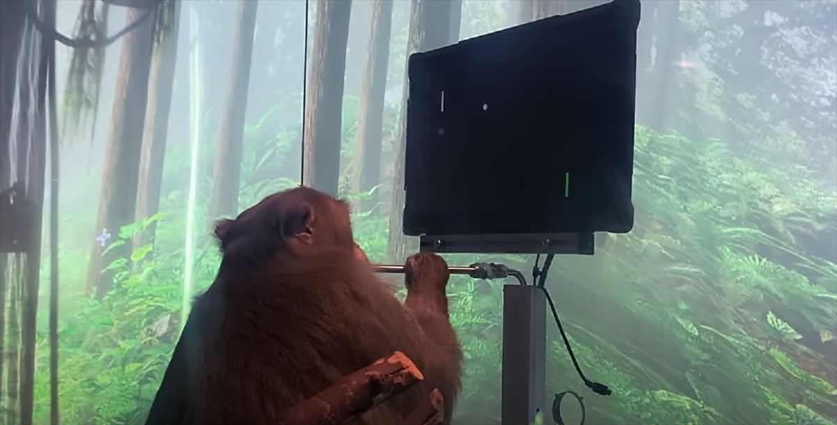 Un mono jugando con el implante cerebral de Neuralink, de Elon Musk, sin usar las manos